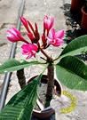 顏色隨機出 [雞蛋花盆栽] 5-6寸盆 室外花卉 多年生觀賞花卉盆栽 半日照佳