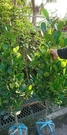 花花世界_喬木圍籬--福木(土球) ,藤黃科品名--樹姿優美/7尺盆苗/高180cm/Tm