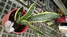 活體  [大虎尾蘭 虎皮蘭] 室內植物5...