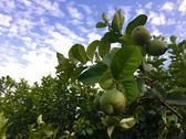 [屏東]採果體驗-天使花園休閒農場(檸檬)