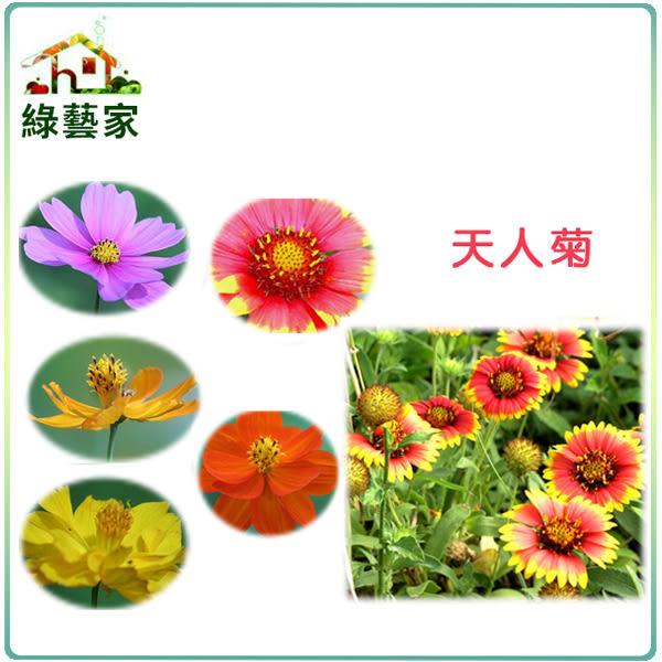 【綠藝家】大包裝H03.天人菊種子15克