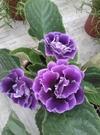 花花世界_室內盆栽--大岩桐(紫)--花朵大而鮮艷/3吋盆/高10-15cm/Ts