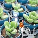 〔〕CARMO熊童子多肉成株 多肉植物【Z0079】