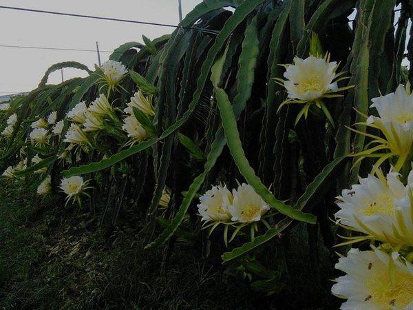 [彰化]採果體驗-彰化二林開心火龍果園〔6月-隔年1月火龍果〕