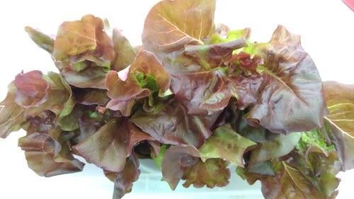 預購 【安心蔬食】水耕蔬菜-紅拔葉萵苣(150g)
