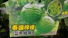 花花世界_水果苗--馬蜂橙(阡插),泰國...