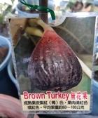 花花世界_水果苗--無花果(Brown Turkey)--果大/6吋盆/ 高15-30公分/Ts