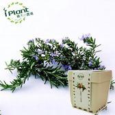 iPlant積木小農場-迷迭香