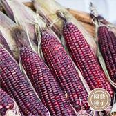 CARMO黑晶紫玉米種子 園藝種子(3g) 【FR0023】