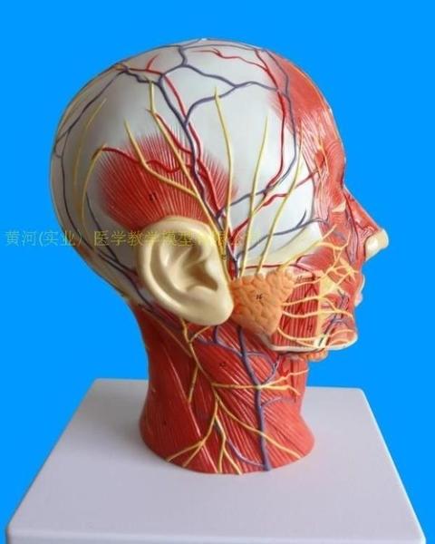 硅膠人頭模面部注射內含骨骼組織皮膚縫合微整形學習指導美容美