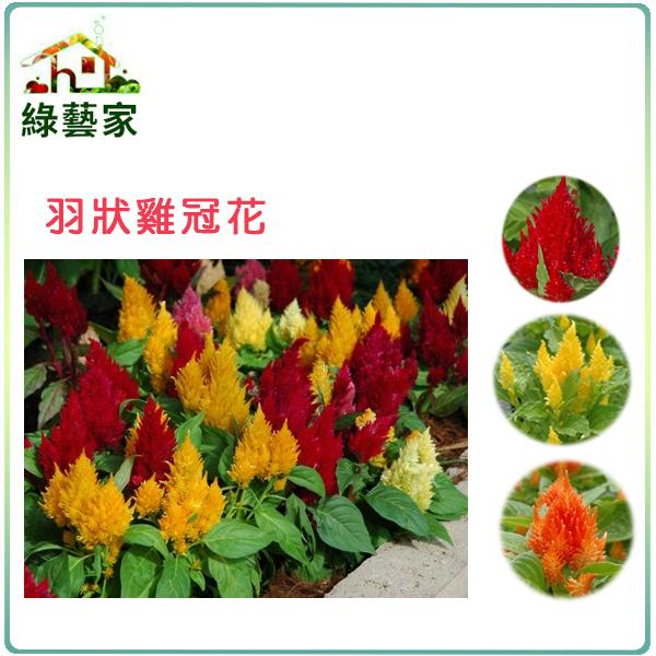 【綠藝家】H23.羽狀雞冠花(混合色,高40~60cm)種子0.55克(約70顆)