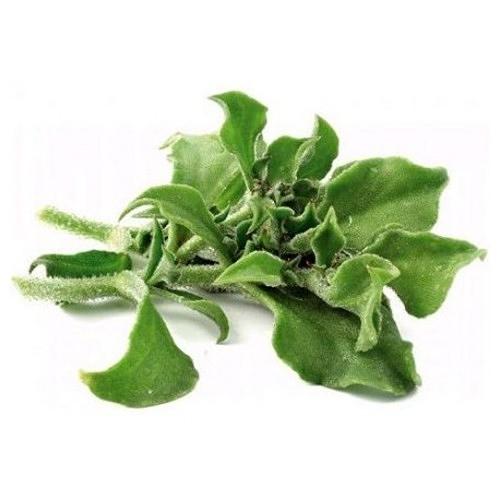 CARMO冰菜種子 園藝種子(100顆) 蝦皮團購 【FR0047】