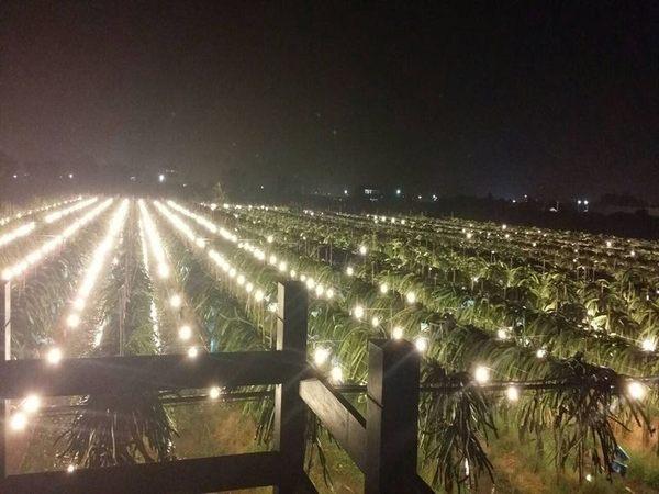 [彰化]採果體驗-新科紅龍果園〔7-12月紅龍果〕