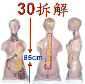 JP-218成人露肩兩性內臟模型(實用的人體模型/軀幹模型/器官模型/教學模型/解剖模型/護理模型)
