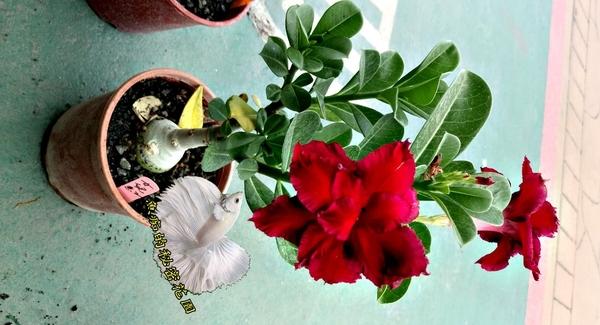 幾乎全年開花 重瓣紅色沙漠玫瑰 [女兒紅] 5吋 室外植物活體盆栽 觀賞花卉盆栽