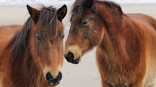 North Carolina's Wild Horses Will Ride Out Hurricane Florence In The Wild