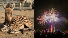 'So angry': Warning after baby zebra dies during fireworks display