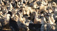 Virus aviaire: plus de 9 000canards abattus par précaution dans le Gers