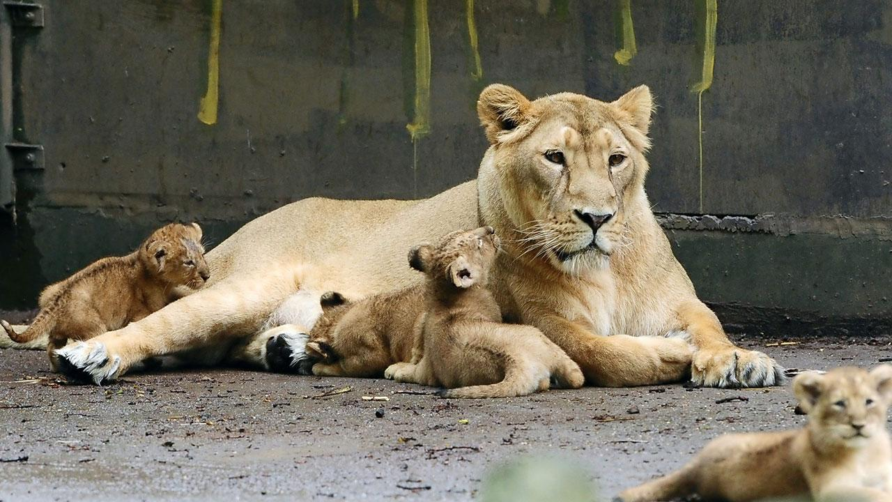 Lion shot dead after escaping from zoo