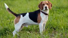 Los perros podrían detectar el cáncer de pulmón con una precisión del 97%
