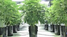 What Bear Market? These Pot Stocks Have Rallied During the Coronavirus Pandemic