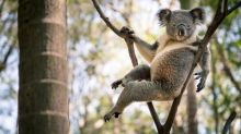 'Sexy' koala with 'come hither' pose goes viral