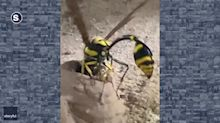 Potter Wasp Snares Caterpillar Before Thrusting It Into Nest