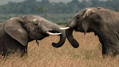 Canada being urged to ban elephant ivory trade