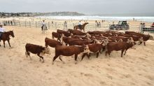 Cows throng Bondi Beach for Australia rural health cause