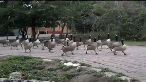 Stamping Gaggle of Geese