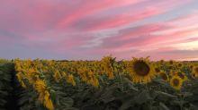 Sunflower field blossoms under majestic evening sunset
