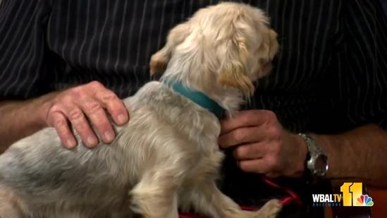 This silky terrier wants to come home with you
