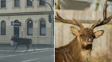 Oh Deer: The slow-moving feral threat in suburban Australia
