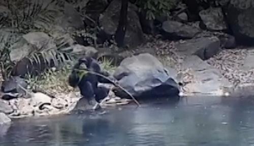 chimpanzee-fishing-for-algae