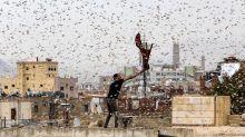 La langosta: la plaga bíblica que la ciencia no ha podido parar