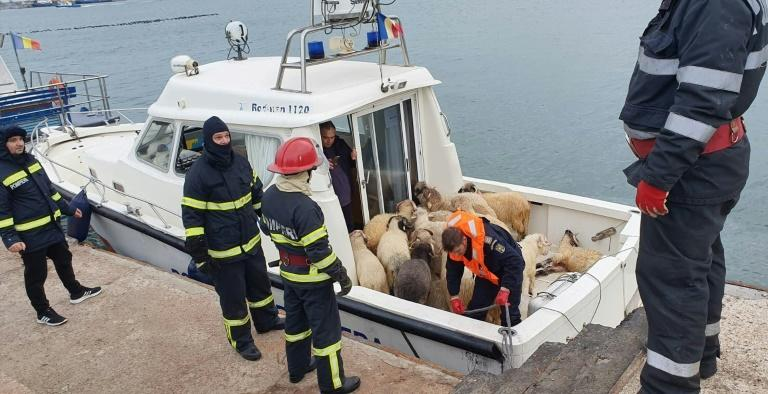 Sheep rescued from overturned cargo ship