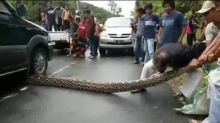 Concerned citizens rescue 10m-long python runover by car