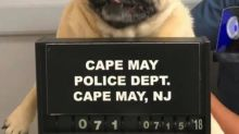 New Jersey pug busted after running away from home and trespassing — police release her pugshot
