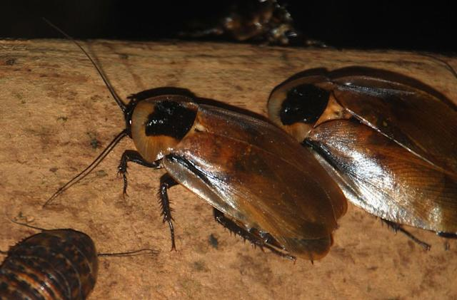 Mind-controlled nanobots release drugs inside cockroaches