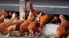 Grippe aviaire:45départements français placés en risque «élevé»
