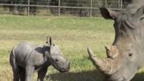 Raw: Aussie Zoo Shows Off White Rhino Calf