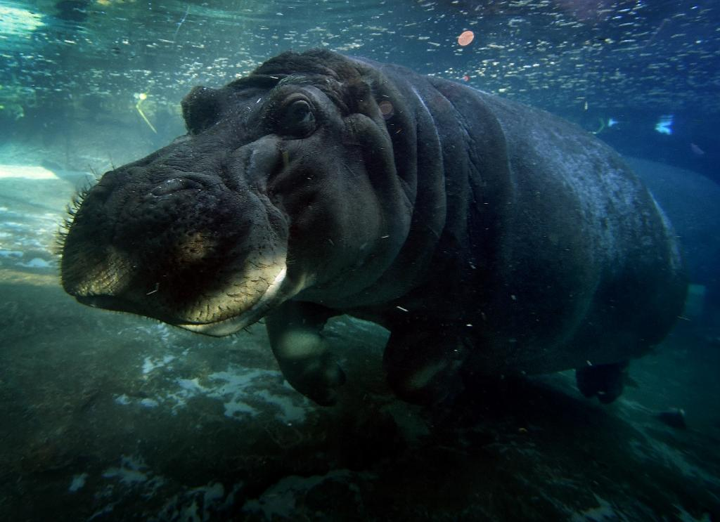 A hippopotamus swims in its enclosure at the San Diego Zoo, in California, on January 13, 2015 (AFP Photo/Mark Ralston)