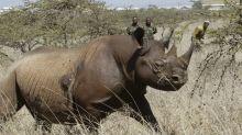 Vier Nashörner sterben nach Umsiedlung