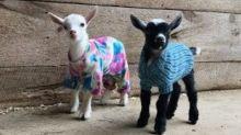 Worth the Wait: Maine Goat Farm's 'Last Babies' of Season Frolic in Coats