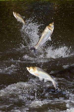 Asian carp waking illinois river