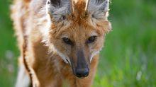 Lobo-guará, o 'semeador de árvores', que é ameaçado na natureza e homenageado em nota de R$ 200