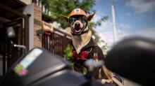 Biker dog Bogie thrills fans as he cruises Philippine highways