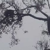 Koala tries its best to cling onto branch in the midst of intense storms