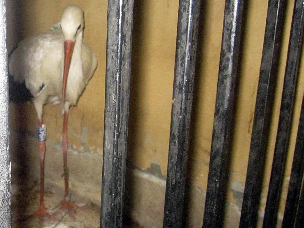 A migrating stork is held in a police station after a citizen suspected it of being a spy and brought it to the authorities in the Qena governorate, some 450 kilometers (280 miles) southeast of Cairo, Egypt. Officials say the man suspected the bird was an undercover agent because it carried an electronic device. (AP Photo)