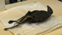 À Lyon, des chercheurs font parler des oiseaux momifiés de l'Égypte antique